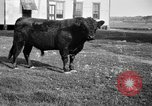 Image of cattle ranch United States USA, 1922, second 15 stock footage video 65675072785