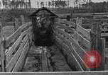 Image of cattle ranch United States USA, 1922, second 35 stock footage video 65675072785