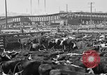 Image of cattle ranch United States USA, 1922, second 59 stock footage video 65675072786