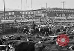 Image of cattle ranch United States USA, 1922, second 60 stock footage video 65675072786
