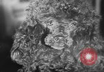 Image of dog show Paris France, 1954, second 39 stock footage video 65675073125