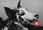 Image of dog show Paris France, 1954, second 52 stock footage video 65675073125