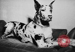 Image of dog show Paris France, 1954, second 53 stock footage video 65675073125