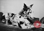 Image of dog show Paris France, 1954, second 54 stock footage video 65675073125