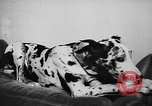 Image of dog show Paris France, 1954, second 55 stock footage video 65675073125