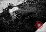 Image of Cocker Spaniels Verbank New York USA, 1935, second 61 stock footage video 65675073364