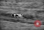 Image of English Springer Spaniels Verbank New York USA, 1935, second 31 stock footage video 65675073366
